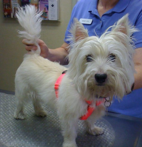 Westie Rescue Helping Homeless West Highland White Terriers Westies And Their Owners