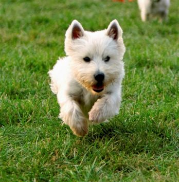 Westie Rescue – Helping homeless West Highland White Terriers and